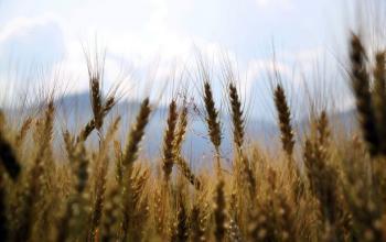 Росія запроваджує новий податок на експорт пшениці